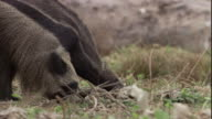 A giant anteater digs for insects. Available in HD.