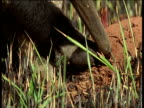 Giant anteater probes termite mound with long sticky tongue