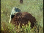 Giant anteater sniffs and digs at termite mound, Brazil