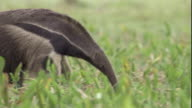 A giant anteater walks across wetlands. Available in HD.