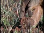 Giant anteater walks over the Cerrado grassland, and raids termite nest