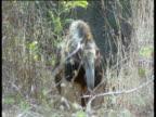 Giant Anteater walks to camera, Brazil