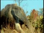 Giant Anteater walks toward camera sniffing air, tilt down to feet, Brazil