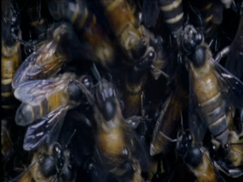 Giant bee performs waggle dance amongst swarm