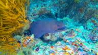 Giant black spotted moray eel underwater
