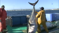 A giant bluefin tuna pulled out of the ocean and placed on the fishing boat
