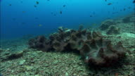 Giant clams on coral reef, Manado, Indonesia