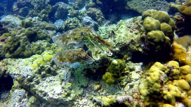 Koppotigen paar gigantische inktvis (Sepia) legt eieren