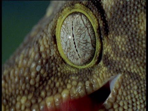 Giant gecko licks its eyeball