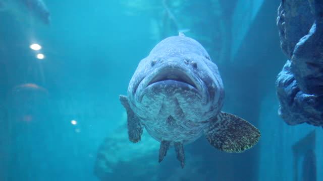 giant grouper fish underwater