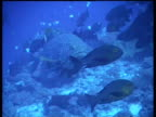 CU Giant Grouper, slowing swims through shoal of fish, over reef, Layang Layang, Malaysia