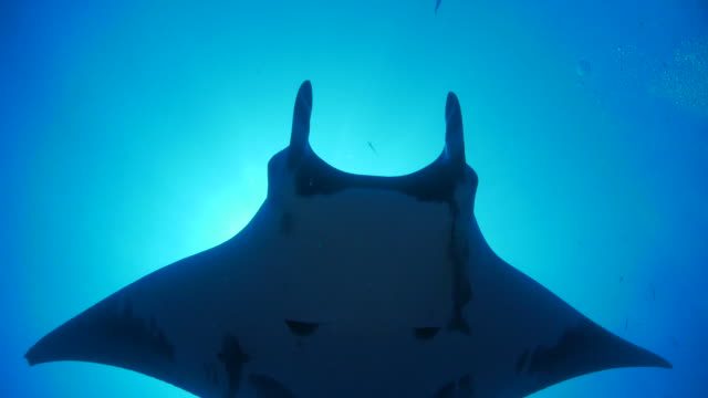 Giant oceanic manta ray flying under sea surface