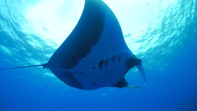 Giant oceanic manta ray (Manta birostris) under sea surface
