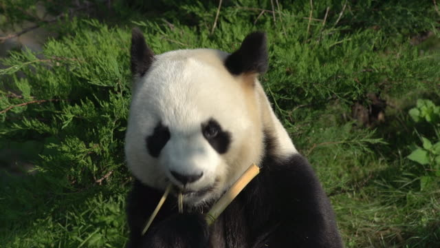 Giant Panda, ailuropoda melanoleuca, Adult eating Bamboo Branch, Real Time