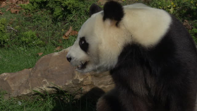 Giant Panda, ailuropoda melanoleuca, Adult looking around, Real Time