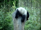 MS, Giant panda (Ailuropodia melanoleuca) playing on rock in bamboo forest, Chengdu, Sichuan , China