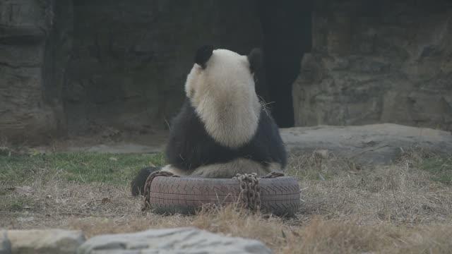 Giant panda plays in Beijing Zoo