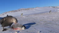 MS Giant petrel starting to feed on dead Emperor penguin chick