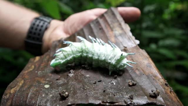 A giant, rare caterpillar in the jungle of Khakaborazi National Park, Myanmar