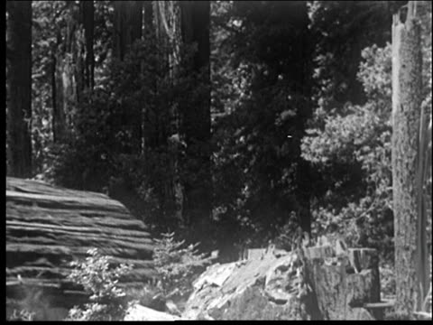Giant redwood trees are cut down, falling.