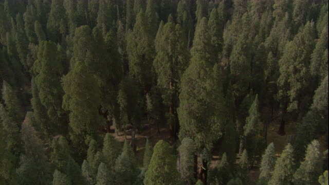 Giant redwoods grow in a dense forest. Available in HD.