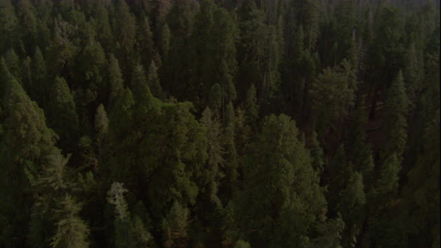 Giant redwoods grow in a dense forest in California. Available in HD.