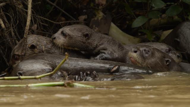 Giant river otter (Pteronura brasiliensis) family at edge of river.