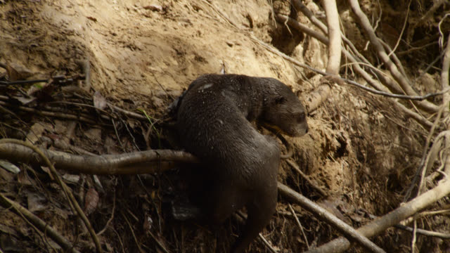 Giant river otter (Pteronura brasiliensis) pup balances on roots at edge of river before returning to river.