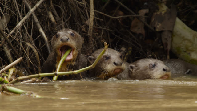 Giant river otter pups (Pteronura brasiliensis) bite at vegetation at edge of river.