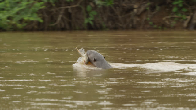 Giant river otter (Pteronura brasiliensis) swims along river carrying catfish in its mouth.