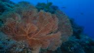 Giant sea fan coral groeien onderzeese in koraalrif