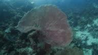 Giant sea fan coral (Gorgonian)