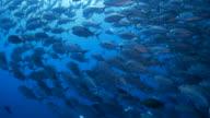 Giant trevally fish, schooling, undersea (4K)