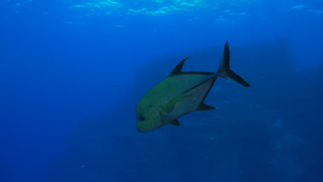 Giant trevally jack fish close to camera