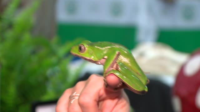WGN Giant Waxy Monkey Tree Frog at a Reptile Festival in Chicago on April 9 2016