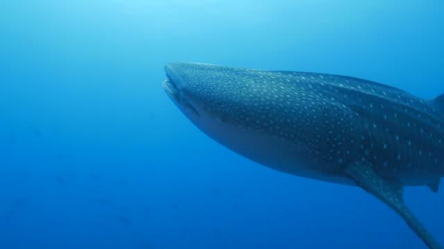 Giant Walhai schließt um camara