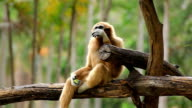 Gibbon in a tree.