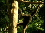 MS Gibbon swinging through trees
