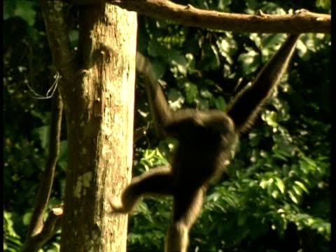 MS Gibbon swinging through trees