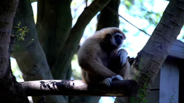 Gibbon gäspningar