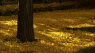 ginkgo  grove of trees  autumn leaves  yellow leaves  fallen leaves closeup