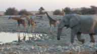 Giraffa, elefante