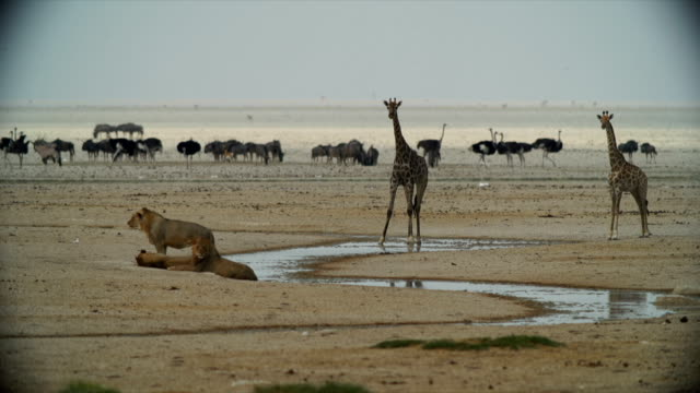 WS Giraffe and lions resting by water / Namibia