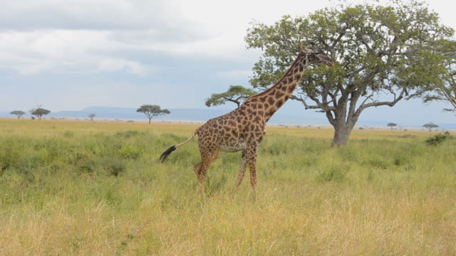 MS Giraffe at grass / Serengeti National Park, Tanzania