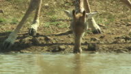 A giraffe bows to drink from a watering hole as oxpeckers ride on its back.