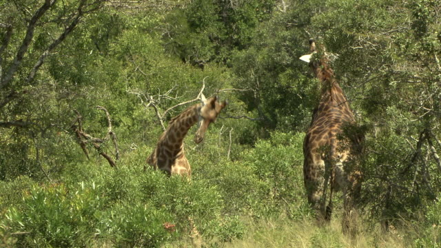 A giraffe challenges another giraffe in a leafy thicket.