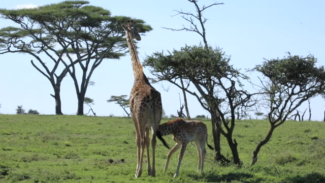 Giraffe cub and mother