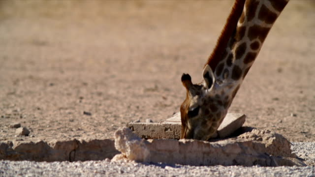 CU Giraffe drinking water from water hole / Namibia