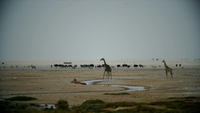 WS Giraffe drinking water in savannah / Namibia