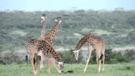 Giraffe Eating a Dead Wildebeest
